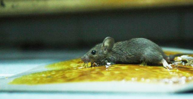 Keo dính chuột - tiêu diệt chuột